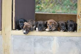 stop blue heeler shedding mountain cur breed info facts temperament puppies pictures