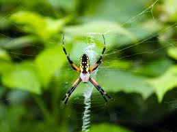 Golden Garden Spider | EzGro Garden R2rustys Chatter September 2017 Ladybugs Backyard And Beyond Birdingand Nature Golden Silk Orb Weaver Spider In Bug Eric Sunday Black Yellow Argiope Glass Beetle By Falk Bauer A Backyard Naturalistinsects Ghost Spiders Family Anyphnidae Spidersrule C2c_wiki_silvgarnspider_hrw8q0m1465244105jpg Aurantia Wikipedia Two Views Sonoran Images Elephant Tiger Skin Spiny Blackandyellow Garden Mdc Discover Power Animal For October Shaman Amy Katz