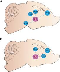 Bed Nucleus Of The Stria Terminalis by Amygdala And Bed Nucleus Of The Stria Terminalis Circuitry