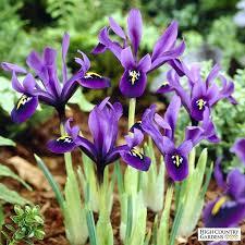 iris bulbs replanting bearded iris bearded iris bulbs iris bulbs