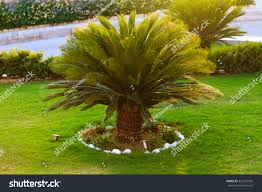 Good Looking Sago Palm Trees Growing Stock Photo 321075455 ... Front Yard Landscaping With Palm Trees Faba Amys Office Photo Page Hgtv Design Ideas Backyard Designs Wood Above Concrete Wall And Outdoor Garden Exciting Tropical Pools Small Green Grasses Maintenance Backyards Cozy Plant Of The Week Florida Cstruction Landscape Palm Trees In Landscape Bing Images Horticulturejardinage Tree Types And Pictures From Of Houston Planting Sylvester Date Our Red Ostelinda Southern California History Species Guide Install