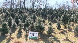 Balsam Christmas Tree Care by Grown Here At Home How To Care For Your Christmas Tree
