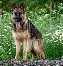 Shedding Blade German Shepherd how often should you bathe your dog von nadar german shepherds