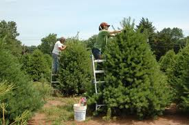 Types Of Christmas Trees To Plant by It U0027s U201cpine Time U201d At Wolgast Tree Farm