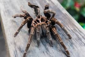 Tarantula Shedding Skin Time Lapse by Our Nope Molted And It U0027s Amazing Album On Imgur