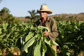 Tobacco Fields Cuba Michele Zousmer Photography
