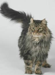 haired cat 20 most popular haired cat breeds cat and animal