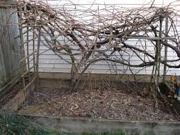 Pruning Backyard Grapevines | The Candle Wine Project Small Plot Intensive Gardening Tomahawk Permaculture Backyard Vineyard Winery Grapes In Your Own Backyard Lifestyle Bucks County Courier More About The Regent Winegrape Growing Your Grimms Gardens Trellis With In The Yard At Home How To Grow Grapes Steemit Seedless Stark Bros Grape Orchards Pinterest Orchards Seattle Wa Youtube Grown Grape Vine And Trellis Stock Photo Royalty First Years Goal