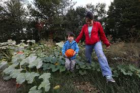 Seattle Pumpkin Patch by Harvest Time At Pumpkin Patch In South Seattle The Seattle Times