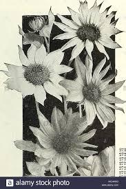 Double Chrysanthemum Stock Photos Images