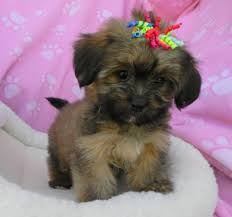 non shedding dog breeds small cross breed dogs melt your heart