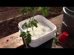 Starting Up Hydroponic Dutch Bucket Tomatoes YouTube Hydroponics