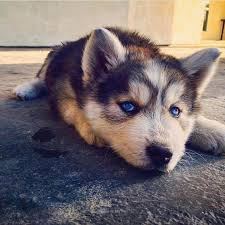 Do Pomskies Shed Fur by Our Dogs And Pomsky Upcoming Litters Acacia Pomsky Puppies
