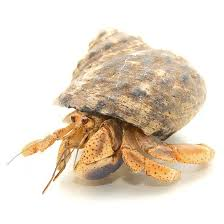 Halloween Hermit Crab by Buy Native Shell Hermit Crabs Online For Sale With Same Day Shipping