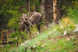 Bull Moose Shedding Antlers by Moose Hunting Tips For The Biggest Hunt Of Your Life Hunting In
