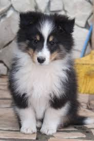 Sheltie Shedding In Winter by 2136 Best Images About Precious Baby Animals On Pinterest