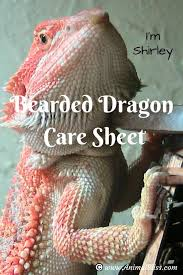 Bearded Dragon Shedding A Lot by Bearded Dragon Shedding Process Reptile Shed What To Expect