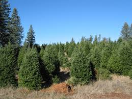 Pumpkin Patches Santa Cruz Area by Santa Cruz County California Christmas Tree Farms Choose And Cut