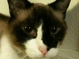 snowshoe cat best of both worlds the snowshoe cat valley ca patch