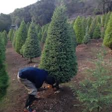 Santa Cruz Ca Christmas Tree Farms by Paradise Christmas Tree Farm 13 Photos U0026 15 Reviews Christmas