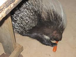Porcupine Eats Pumpkin by Porcupine Zuri Orphanage
