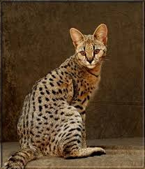 cats for best 25 cats ideas on serval cat