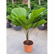 choisir palmier d intérieur gamm vert
