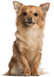 Hypoallergenic Non Shedding Small Dog Breeds by Best 25 Small Hypoallergenic Dogs Ideas On Pinterest Small