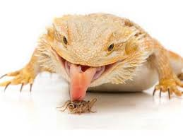Bearded Dragon Heat Lamp Wattage by Bearded Dragon Care Sheet Caring For Your Pet Dragon