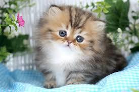 tea cup cat rug hugger kittens rug huggersultra kittens