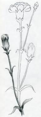 How To Draw A Carnation Flower Photo