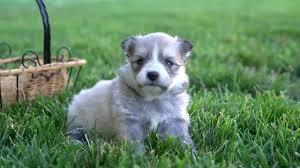 Do Pomskies Shed Fur adorable 2nd generation blue eyes pomsky puppy for sale youtube