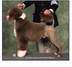 Portuguese Water Dog Non Shedding by Portuguese Water Dog Breeders Canada U0027s Guide To Dogs Pwd