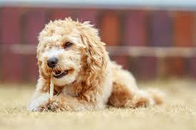 What Dog Sheds The Most by Maltipoo Dog Breed Information Pictures Characteristics U0026 Facts
