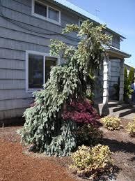 SlenderinaR Weeping Blue Spruce