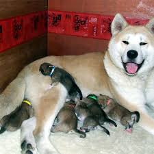 Do Akitas Shed Bad by 93 Best Akita Images On Pinterest Akita Dog Japanese Akita And