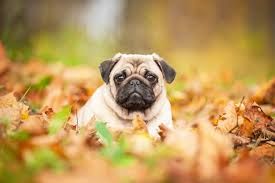 Do Pugs And Puggles Shed by Pug Breed Information Fun Facts And Faq U0027s 2018 Edition