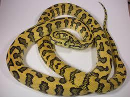 Coastal Carpet Python Facts by Jaguar Carpet Python Carpet Vidalondon