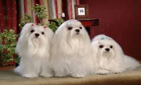 Top Dogs That Dont Shed Hair top 10 unusual dog breeds that don u0027t shed