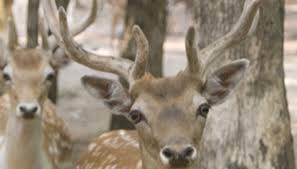 When Do Whitetails Shed Their Antlers by Why Do Deer Get Velvet On Their Horns Sciencing