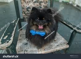 Black Pomeranian Dog Smiles Rocking Chair Stock Photo (Edit Now ... These Elder Dogs Are Missing Someone From The Rocking Chair Favogram Puppy Dog In Tadley Hampshire Gumtree On A Stock Photo Download Image Now Istock Vintage Grandpa Man Wdog Pipe Rocking Chair Tirement Fund Bank Taking Akc Trick To The Next Level Top Notch Toys Miniature Schnauzer Wooden Lessons From Part Two Mothering Spirit Whats A Good Rocking Chair Quora Hd Welcome Are Love Puppies Lovers