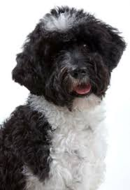 List Of Non Hypoallergenic Dogs by List Of Hypoallergenic Dogs Dog Allergy Symptoms Puppies