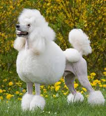 No Shed Dogs Illinois by Pet Talk In Illinois Breed Focus Poodle