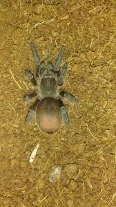 Pumpkin Patch Tarantula For Sale by 10 Best Aphonopelma Images On Pinterest Spiders Beautiful