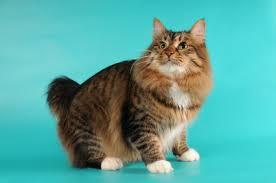 bobtail cat american bobtail cat breed information on american bobtails