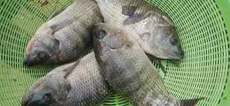 Tilapia Freak Farmed Fish Or Evolutionary Rock Star