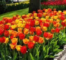 wholesale tulip bulbs from adr bulbs