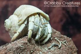 Do Hermit Crabs Shed Legs by Crabby Creatures Our Adventures In The World Of The Australian