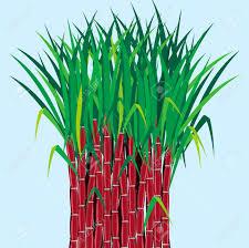 Sugarcane Plants Grow In Field Stock Vector