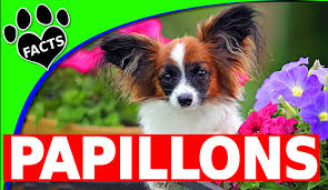 Non Shedding Small Dog Breeds List by Toy Dog Breeds U2013 Animal Facts